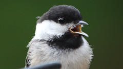 Hungry Chickadee (blazer8696) Tags: 2017 brookfield ct connecticut ecw obtusehill t2017 table usa unitedstates atricapillus bcch black blackcapped blackcappedchickadee capped chickadee img3855 paridae passeriformes poeatr poecile poecileatricapillus