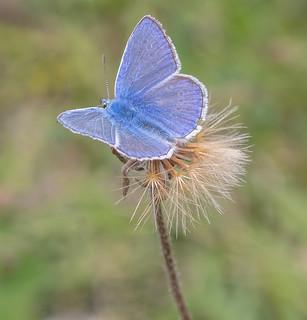 JWL6778 Common Blue..