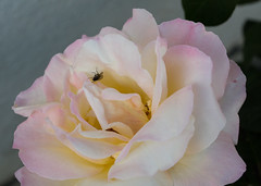 Rose with a fly