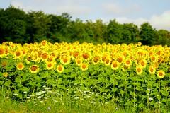 Sonnenblumen (izoll) Tags: izoll sony alpha77ii sonnenblumen juli sommer gelb