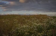 Evening clouds (frankmh) Tags: sky cloud field flower hittarp skåne sweden countryside landscape outdoor