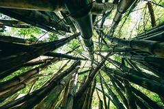 Bamboo forrest, Na Pali Coast Kauai, Hawaii (Oliver Raatz) Tags: jungle colors inhalt hawaii kauai nature
