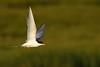 Forster's Tern (Mark Schwall) Tags: edwinbforsythenwr sternaforsteri forsterstern tern bird birdinflight bif southernnewjersey nj newjersey nikon nikkor200500f56vrafs d500 markschwallphotographycom flight sunrays5