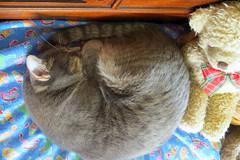 Millie 12 July 2017 5690Ri 4x6 (edgarandron - Busy!) Tags: millie graytabby cat cats kitty kitties tabby tabbies cute feline