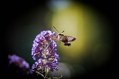 You are my Sunshine! (ursulamller900) Tags: handheld manualfocus hemarisfuciformis hummelschwärmer mygarden insekt butterfly schmetterling schmetterlingsflieder bokeh pentacon28100