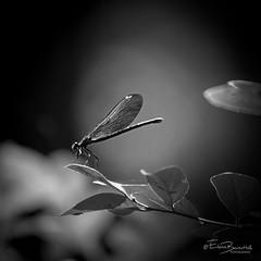 Dragonfly (elena.barsottelli) Tags: dragonfly libellula bw biancoenero macro natura nature