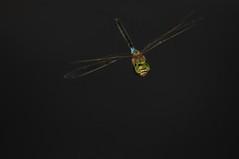 In the dark (jrosvic) Tags: flying anaxparthenope dragonfly odonata anisoptera entomology libélula nikond2xs nikonafs300mmf4 freehand laazohia islaplana kenkopro300x14