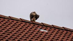 Mäusebussard auf dem Dach 01 (p.schmal) Tags: panasonicgx80 hamburg farmsenberne mäusebussard