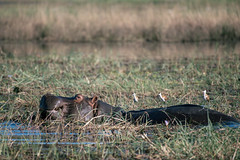 Munching hippo (knipslog.de) Tags: hippo munching river water grass botswana botsuana safari adventure wildlife wild animals selfdrivesafari