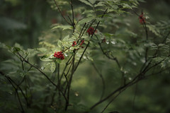 Essence of the forest (explore) (desomnis) Tags: forest woods bokeh nature green dof depthoffield canon135mmf20 canon5d canon5dmarkiv böhmerwald bohemianforest natural red berries summer bush desomnis 135mm canon135mm