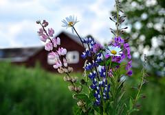 Summer Etude (Linnea from Sweden) Tags: nikon d7000 afs 55200mm 456 g ed vr nature green village plant summer etude