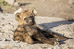 Young Hyena Cub (matttrevillionphotography.com) Tags: etosha namibia africa hyena
