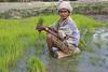 Harvesting rice in Aileu Rice 26-09-08-2 (undptimorleste) Tags: aileu farmer farmers field harvest rice ricefields timorleste