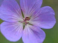 20170702_Jardins_Secrets_Vaulx_Fl (1 sur 20) (calace74) Tags: rhonealpes fleur france insectes jardin jardinssecrets macro vaulx