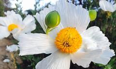 California poppies... (mar-itz) Tags: flower poppy nature green light white bright matilija romneya whitecloud native california friedegg plant blooming summer macro sandiego explore maritza