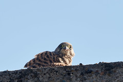 Falco tinnunculus 20170718 b , NGIDn429581220 (naturgucker.de) Tags: ngidn429581220 naturguckerde falcotinnunculus johannisberg unterebrunnengasse carnolaber