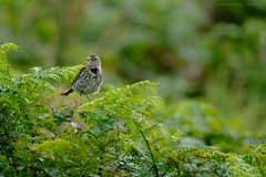 Meadow pipit (Andrew Bloomfield Photography) Tags: andrewbloomfieldphotography animals bird birds flowersplants location nature outdoor photograph summer uk wildlife wwwandrewbloomfieldphotographycouk meadowpipit