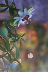 Il fiore della passione (Danilo Agnaioli) Tags: passiflora fiori natura umbria italia estate 2017 bokeh trioplan