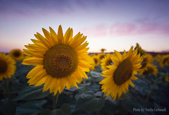 Sunflowers (Emilio Carbonell Galdón) Tags: girasoles sunflowers outdoors atardecer landscape paisaje sunset nature nopeople spain españa valencia