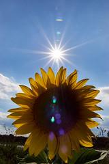 Double sun (grundi1) Tags: sony alpha 68 ilca sonnenblumen bad erlach sunflowers sigma1770f2845dcmacro verlaufsfilter