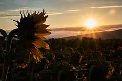 Soak up the sun (grundi1) Tags: sony alpha 68 ilca sonnenblumen sonnenaufgang bad erlach sunflowers sunrise sigma1770f2845dcmacro verlaufsfilter