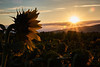 Soak up the sun (grundi1) Tags: sony alpha 68 ilca sonnenblumen sonnenaufgang bad erlach sunflowers sunrise sigma1770f2845dcmacro verlaufsfilter flower blume nature vanagram orange sigma 1770 f2845
