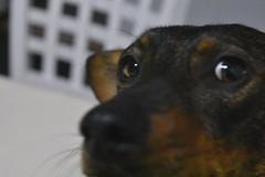 Those eyes, that look (emanuelzalazar) Tags: 我的狗 狗 眼睛 宠物 pet dog mydog miradas mascota