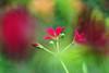 Come on guys. Let's dance! (Gudzwi) Tags: rosarot pink red geranie pelargonium storchschnabel geranium storksbills macro plant flower blossom blüte garten natur nature garden green grün 7dwf macroorcloseup closeup nahaufnahme blur bokeh unschärfe vintagelens altglas hbw happybokehwednesday
