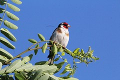 Szczygieł / European Goldfinch (natalia.bird_nerd) Tags: finch goldfinch europeangoldfinch poland bird tree leaves