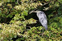 Ardeidae (thomasjgh) Tags: ardeidae bird wildlife häger 7dmarkii 70200f28 l canon tree heron