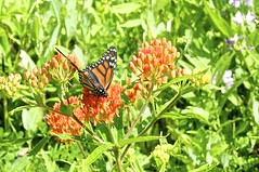 Ruler Of The Flower Patch (pecooper98362) Tags: ithaca newyork buttermilkfallsstatepark buttermilkfalls buttermilkcreek buttermilkcreekgorge ithacaisgorgeous summer butterfly monarch monarchbutterfly danausplexippus flowers butterflyweed aslepiastuberosa orangemilkweed pleurisyroot