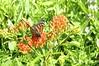 Ruler Of The Flower Patch (pecooper98362) Tags: ithaca newyork buttermilkfallsstatepark buttermilkfalls buttermilkcreek buttermilkcreekgorge ithacaisgorgeous summer butterfly monarch monarchbutterfly danausplexippus flowers butterflyweed aslepiastuberosa orangemilkweed pleurisyroot