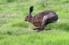 Harum-Scarum (Ger Bosma) Tags: 2mg171883bfiltered haas lepuseuropaeus hare brownhare europeanhare feldhase hase lièvre liebre lepre leporidae lebrecomum lebre заяцрусак zającszarak running fast speed sprint