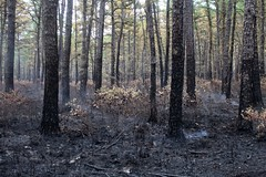 Wharton State Forest (elisecavicchi) Tags: wharton state forest fire hammonton batsto smoke charred blackened trees trunks woods ash charcoal burned understory regeneration renewal july summer burnt woody brush bushes lightning strike new jersey nj