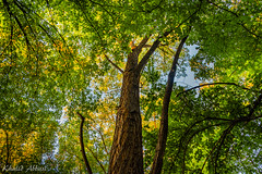 Summer Foliage (Khalid H Abbasi) Tags: plovdiv bulgaria nikond5500 tamron outdoors nature canopy summer foliage sky gree yellow treetrunk bark