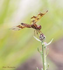 Eastern Amberwing female (sbuckinghamnj) Tags: easternamberwing amberwing dragonfly odonata insect mountainsidepark pequannock newjersey