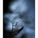 Danse nocturne (Futoigokiburi) Tags: insect macro mantereligieuse naturallight nature prayingmantis