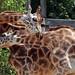 giraffe amersfoort BB2A4885