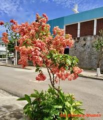 Mussaenda & the Church, El Salvador (ssspnnn) Tags: mussaenda rubiaceae mussaendaerythrophylla iphone6 elsalvador snunes spnunes spereiranunes flordetrapo flor flower flores iglesia igreja church