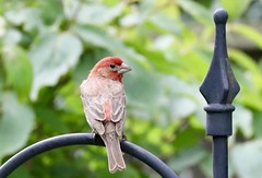 (krys.mcmeekin) Tags: bird outdoor garden summer depthoffield