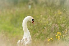 """Swan in the Meadow"" (cazalegg) Tags:"