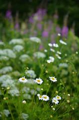Flowers flowers flowers (Villikko) Tags: flower flowers plant plants summer kesä kasvi kukka niitty nikon d5100 nikond5100 macro