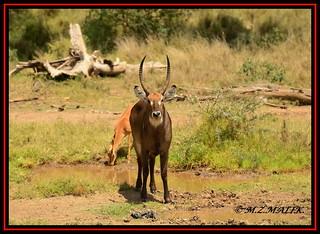 COMMON WATERBUCK (Kobus ellipsiprymus)......NAIROBI NAT.PARK......OCT 2013
