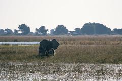 Taking a bath (knipslog.de) Tags: big5 bigfive bath water river chobe botswana botsuana safari adventure wildlife wild animals selfdrivesafari