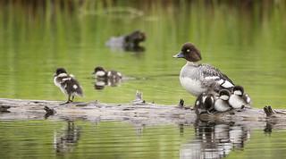 Momma Barrow's Goldeneye and the Ducklings