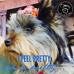 I Feel Pretty! (itsayorkielife) Tags: itsayorkielife yorkie yorkielove yorkiememe yorkshireterrier