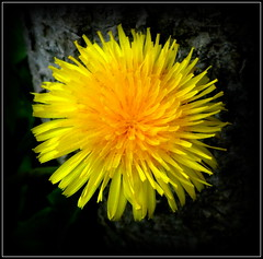 Natural Wonder (dimaruss34) Tags: newyork brooklyn dmitriyfomenko image flower dandelion