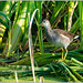 Common Gallinule (juvenile) DSC_0928 (blindhogmike) Tags: phinizy swamp augusta georgia