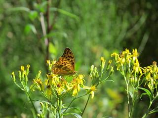 Schmetterlinge im Schwarzwald