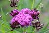 Purple on green_2017 (Zygmunt Su...) Tags: fantasticflower